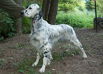 Bibo/English Setter blue belton